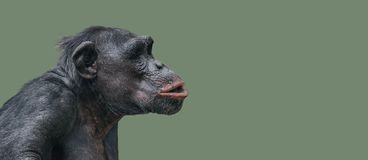 Portrait of curious wondered Chimpanzee at smooth uniform background. Extreme closeup, details, paste space stock photo