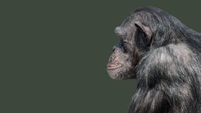 Portrait of curious wondered Chimpanzee at smooth uniform background. And paste space royalty free stock photo