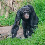 Portrait of curious wondered Chimpanzee standing at full size in. Grass, extreme closeup, details royalty free stock image