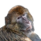 Portrait of curious wondered macaque isolated at white background, extreme closeup, details stock images