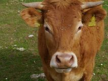 Portrait of a curious young cow on a farm Royalty Free Stock Images