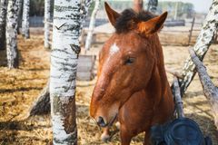 Portrait of a curly-headed red horse in a sunny stable yard stock photos