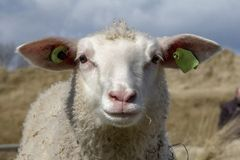Portrait of a curly lamb or sheep in the dunes royalty free stock image