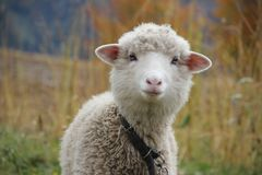Portrait of a curly sheep with a pink nose. Big eyes and ears royalty free stock photos