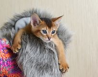 Portrait of a cute abyssinian kitten Stock Photography