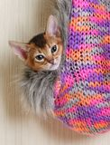 Portrait of a cute abyssinian kitten Stock Images