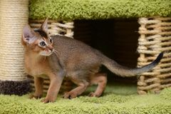 Portrait of a cute abyssinian kitten Royalty Free Stock Images