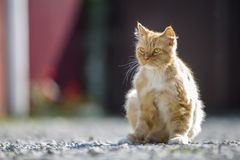 Portrait of cute adorable ginger orange young big cat with golde royalty free stock photography