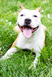 Portrait of cute American Staffordshire Terrier Royalty Free Stock Photography