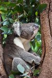 Portrait cute Australian Koala Bear climbing in an eucalyptus tree and looking with curiosity. Kangaroo island. royalty free stock photos
