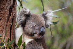 Portrait cute Australian Koala Bear sitting in an eucalyptus tree and looking with curiosity. Kangaroo island. stock photography