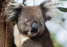 Portrait cute Australian Koala Bear sitting in an eucalyptus tree and looking with curiosity. Kangaroo island stock photos