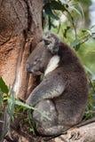 Portrait cute Australian Koala Bear sitting and sleeping in an eucalyptus tree . Kangaroo island. royalty free stock images