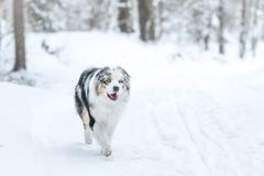 Portrait of a cute australian shepherd royalty free stock photos