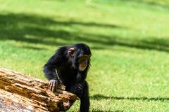 Cute Baby Chimpanzee. Portrait Of A Cute Baby Chimpanzee Stock Images