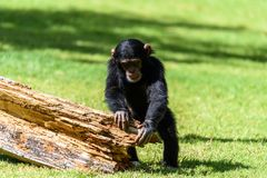 Cute Baby Chimpanzee. Portrait Of A Cute Baby Chimpanzee Royalty Free Stock Photography
