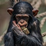 Portrait of cute baby Chimpanzee playing with food. Extreme closeup stock images