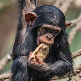 Portrait of cute baby Chimpanzee playing with food. Extreme closeup royalty free stock photo