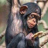 Portrait of cute baby Chimpanzee playing with food. Extreme closeup stock photos