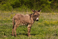 Portrait of cute baby donkey. In the umbria country Royalty Free Stock Image