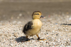 Portrait of a cute baby duck. Royalty Free Stock Images