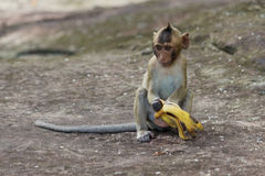 Portrait of cute baby monkey eating banana Stock Photo