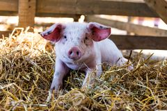 Portrait of a Cute Baby pig. At the farm stock photo