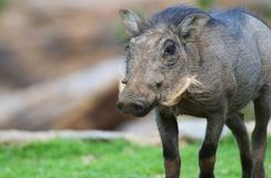 Warthog baby. A portrait of a cute baby warthog Royalty Free Stock Images