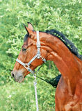 Portrait of cute bay gloss  sportive horse. Portrait of nice bay horse sunny day Royalty Free Stock Images