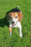 Portrait of cute beagle dog Stock Image