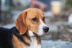 Portrait of a cute beagle dog outdoor. Portrait of a cute beagle dog outdoor in the courtyard Stock Photography