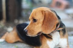 Portrait of a cute beagle dog outdoor. Portrait of a cute beagle dog outdoor in the courtyard Royalty Free Stock Photography