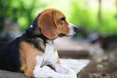 Portrait of a cute beagle dog outdoor. Portrait of a cute beagle dog outdoor lying on the footpath Royalty Free Stock Images