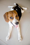Portrait cute beagle puppy dog Stock Photography