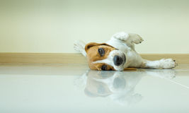 Portrait cute beagle puppy dog Royalty Free Stock Images