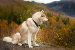 Portrait of Cute Beige Siberian Husky sitting in the forest in fall season on a mountain background. Profile Portrait of Cute Beige Siberian Husky in fall Stock Photography