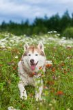 Portrait of cute beige and white dog breed siberian husky lying in the orange flowers field in summer. Portrait of happy cute beige and white dog breed siberian Stock Photography