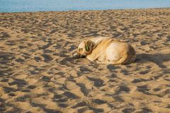 Portrait of cute big yellow mongrel dog relaxing at sandy summer beach outdoors stock photos