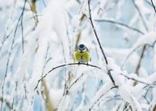 Portrait of cute bird azure tree on a branch covered with white. Snow flakes in the garden Stock Images