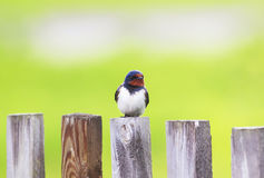 Portrait of a cute bird barn swallow sitting on an old wooden fe Royalty Free Stock Photos