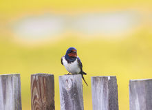 Portrait of a cute bird barn swallow sitting on an old wooden fe Stock Photo