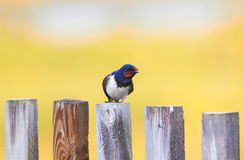 Portrait of a cute bird barn swallow sitting on an old wooden fe Stock Image