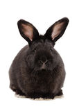 Portrait of a cute black rabbit Royalty Free Stock Photos