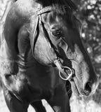 Portrait of cute black stallion closeup royalty free stock photo