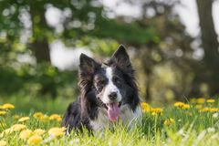 Portrait of Border Collie lying at the blossoming dandelion mead royalty free stock photo