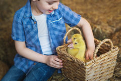 Portrait of a cute boy with goslings on farm Royalty Free Stock Images