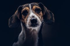 Portrait of a cute breed dog on a dark background in studio. Royalty Free Stock Photography