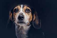 Portrait of a cute breed dog on a dark background in studio. Royalty Free Stock Images