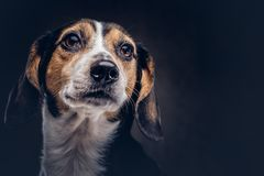 Portrait of a cute breed dog on a dark background in studio. Royalty Free Stock Image