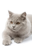 Portrait of cute british kitten isolated Royalty Free Stock Image
